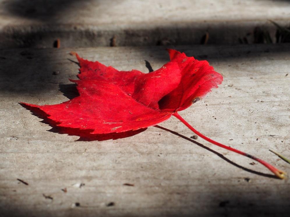 feuille d'automne - Canada Delicieuse Vie