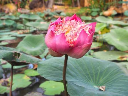 Village Bính Quói 2 focus lilypad Ho Chi Minh - Viet Nam ©Delicieusevie