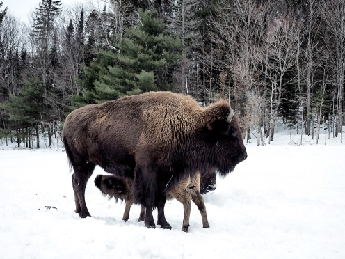 Buffalo - parc Omega - snow ©delicieusevie